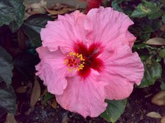 Hibiscus 'Candy Wind'