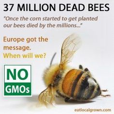 """Are GMOs Killing the Bees?"" * 37 million Bees found dead in Elmwood, Ontario, Canada, after large planting of GMO corn seed treated with Neonicotinoid pesticides. Save Our Earth, Save The Planet, Dead Bees, Ontario, Save The Bees, We Are The World, Bee Keeping, Mother Earth, Good To Know"