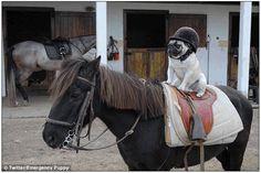 Pug horse riding