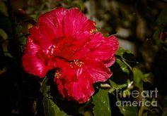 Double Hibiscus: See more images at http://robert-bales.artistwebsites.com/