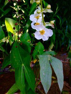 Water Garden Plants, Aquatic Plants, Bloom, Google Search, Water Plants