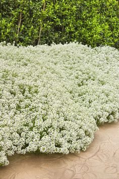 Snow Princess Lobularia is not your grandma's Sweet Alyssum! This plant will provide large pillows of white all season, with incredible vigor plus heat and drought toleramce. What is unusual is that it also withstands cool temps very well too, causing it
