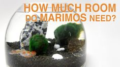 How Much Room Do Marimos Need?