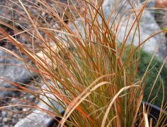 """Carex testacea - Orange Sedge- Arching mounds of evergreen bronze to orange colored foliage to 18"""" x 24"""" .  Sun to part shade, moderate water. $9.98/pot"""
