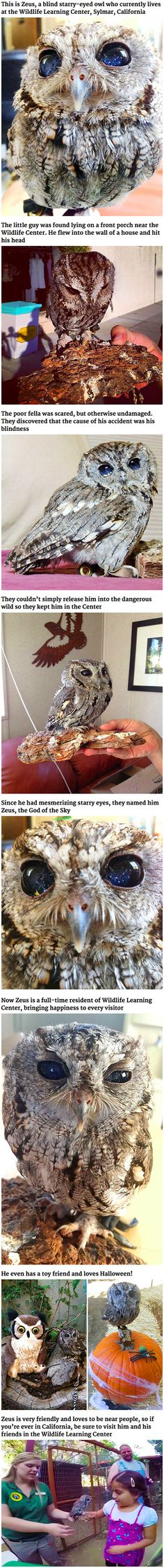 "One morning, someone in Southern California found an injured owl on their porch. It turned out to be a blind Western Screech Owl with eyes that look like a starry night. After a visit to the vet, the owl found a new permanent home at the Wildlife Learning Center in Sylmar, California. He was named ""Zeus"" after the Greek god of sky and thunder because of his stunning eyes."