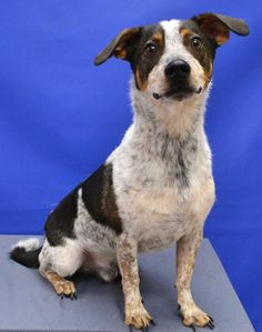 KODA Australian Cattle Dog (Blue Heeler) & Jack Russell Terrier Mix • Adult • Male • Small City of Denton Animal Services Denton, TX