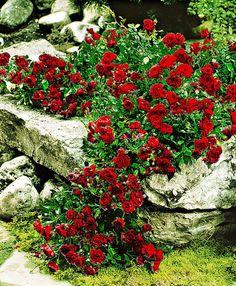 Bodendeckerose Rosenarten