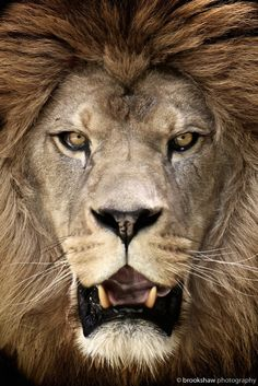 Barbary LionbyGary Brookshaw