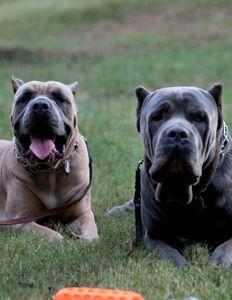 #cane #corso #dog