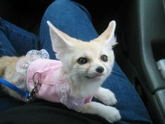 a pet fennec fox! yes pleaseee
