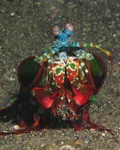 The Mantis Shrimp