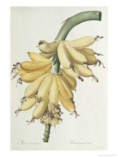 Banana, 1816 Lámina giclée por Pierre-Joseph Redouté en AllPosters.com.mx