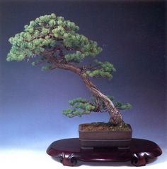 Japanese white pine - 150 anos - 78cm