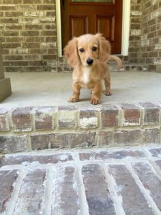 English cream miniature dachshund!!