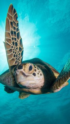 by Jason Isley A green turtle in Borneo, Malaysia. Green Turtle, Turtle Love, Wild Creatures, Ocean Creatures, Sea Turtle Pictures, World Turtle Day, Baby Sea Turtles, Turtle Baby, Baby Animals