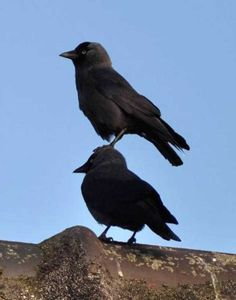 17 Photos That Prove Crows Don't Really Give a Damn - World's largest collection of cat memes and other animals Animal Kingdom Restaurants, Disney Animal Kingdom Lodge, The Crow, Memes Arte, Funny Animals, Cute Animals, Animal Memes, Horse Mane, Crow Art