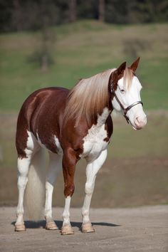 American Paint Horse mare No Lonely Chics