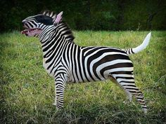 #Bull Terrier in zebra shape