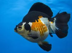 Goldfisch mit Kompass