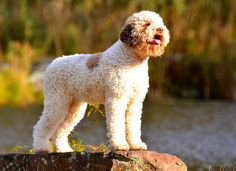 Lagotto Romagnolo on the water.