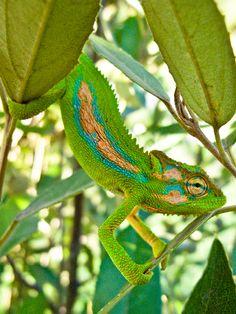 Coriolistic Anachronisms | More Cape Dwarf Chameleons ...