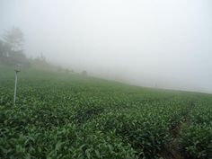 2014 Summer Tea Field @Taiwan Mount Ali