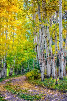 Aspens in Autumn.
