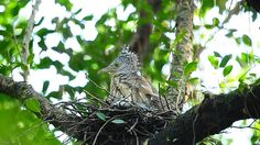 Malayan Night Heron brood shift ----- go to flickr site to see VIDEO of parents feeding chicks!