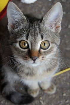 Vega  kontakt w sprawie adopcji: 512 182 032  fundacja@felineus.org