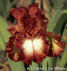 Spice Lord | Red Iris