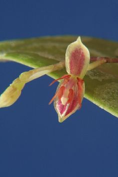 Lepanthes anfracta - Flickr - Photo Sharing!