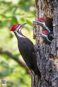 Hahnemuhle PHOTO RAG Fine Art Paper (other products available) - A male Pileated Woodpecker feeding its youngs. - Image supplied by Fine Art Storehouse - Fine Art Print on Paper made in the UK Fine Art Prints, Framed Prints, Canvas Prints, Backyard Birds, Bird Pictures, Fauna, Pet Birds, Birds 2, Photographic Prints