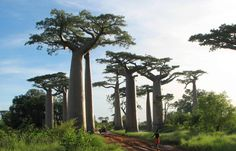 avenue-of-the-baobabs-madagascar-700x450.jpg (700×450)