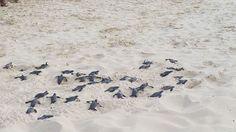Its that season! #Turtles hatching on #EagleBeach #Aruba today! #DiscoverDivi