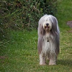 The Bearded Collie is considered as one of Britain's oldest breeds. It was in 1514 when a Scottish shepherd was said to breed a Polish Sheepdog with his other herding and flock dogs such as the Komondor and Old English Sheepdogs. These breeds were said to form the foundation of the breed. In 1967, the first litter of Bearded Collies in the USA was whelped.