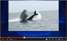 Whale Collides With Fishing Boat! Watch here: http://awesomeanimals001.blogspot.co.il/2013/04/whale-collides-with-fishing-boat.html