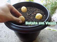 Como Plantar Batata em Vasos (incio,meio,fim) - YouTube