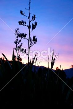 Harakeke (NZ Flax) Silhouette and Sunset Royalty Free Stock Photo