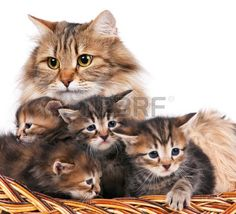 Cute siberian cat with little kittens isolated over white background. Focus on the cat