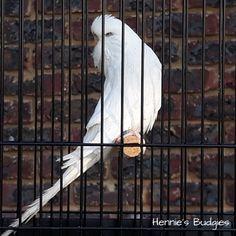 Breeding Surprises #Budgies – Hennie's Budgies Nesting Boxes, Albino, Budgies, Bald Eagle, Parakeets, Birdhouses, Bird Houses, Nests