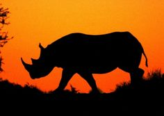Shows: Black Rhino silhouette at sunset, Hluhluwe-Imfolozi Reserve, South Africa. Photo: Jed Bird, for Natural World.