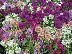 Couleurs d'alysses http://www.pariscotejardin.fr/2013/06/couleurs-d-alysses/