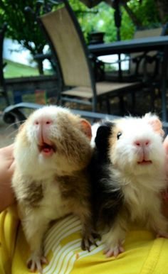 The Excellent Adventure Sanctuary. Why You Shouldn't Purchase A Guinea Pig At A Pet Store. You visit a pet store and you instantly fall in love with a cer Baby Guinea Pigs, Guinea Pig Care, Pet Pigs, Hamsters, Rodents, Guinea Pig Breeding, Cute Piggies, Pet Rabbit, Baby Animals