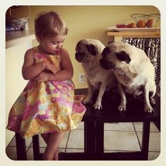 Real life pugs...'I think she's hiding some food'!