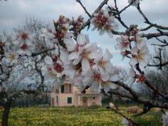 When the almond trees are in blossom...  Porto Christo, Mallorca