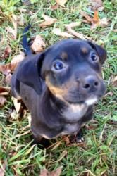 Esmerelda is an adoptable Catahoula Leopard Dog Dog in Richmond, VA. Esmerelda is a darling Catahoula Leopard Dog/Labrador Retriever mix puppy. She is just now 6 weeks old and will be ready to make he...