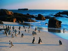Welcome to join this interesting private tour in South Africa with a local tour guide - Penguins :: Private Guide Beach Kids, Beach Day, Places To See, Places Ive Been, Boulder Beach, Local Tour, Cape Town South Africa, Adventure Activities, Rest Of The World