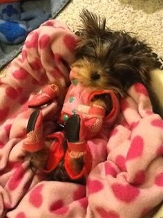 Just speechless.  Meet Lilo Kahlua Bear, the cutest Yorkie EVER wearing Mini Meshies