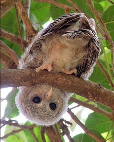 Baby owl looking at you through Morwen - Baby Animals 2019 Baby Owls, Cute Baby Animals, Funny Animals, Owl Photos, Owl Pictures, Beautiful Owl, Animals Beautiful, Nature Animals, Animals And Pets
