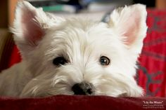 westie puppy photographs   Click here for a larger view Photo and narrative by Kevin Burns .